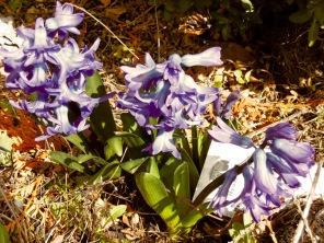 Hyazinthen im Garten