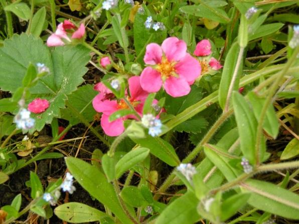 Erdbeerblüte in rosa