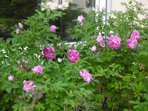 Erste halbwilde Rosen