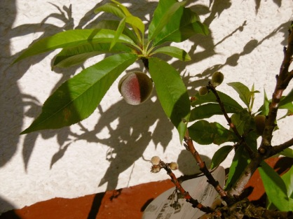 Der Pfirsich wird