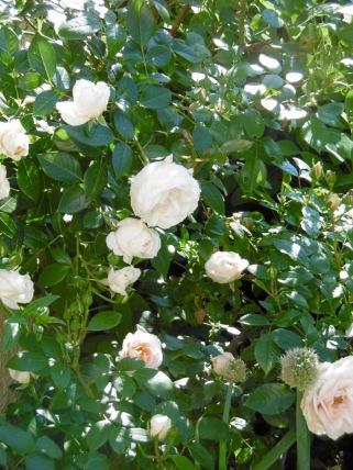eine unbekannte Rosenschönheit