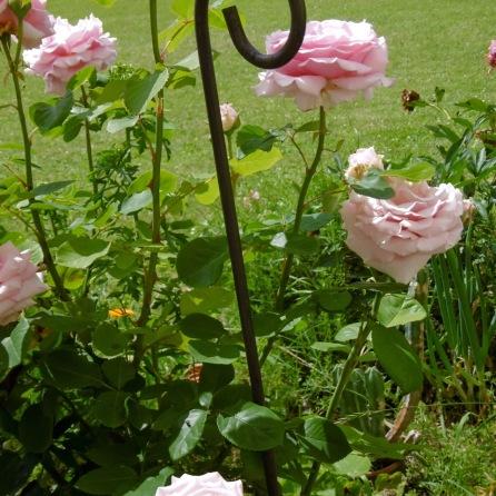 Frederic Mistral-Rose mit Duft