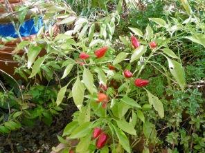 chili-pflanze-2