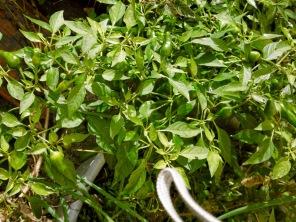 chili-pflanze-3