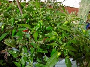 chili-pflanze-4