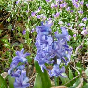 duftende Hyacinthen