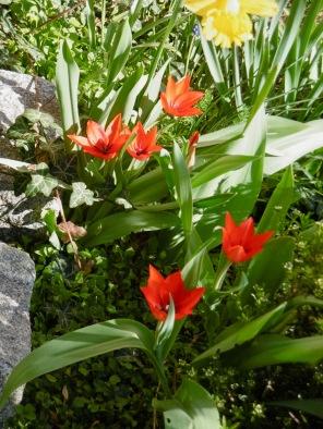 erste Wild-Tulpen