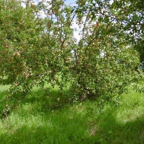 und noch mehr Äpfel