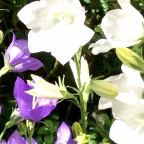 Weiße-Glocken